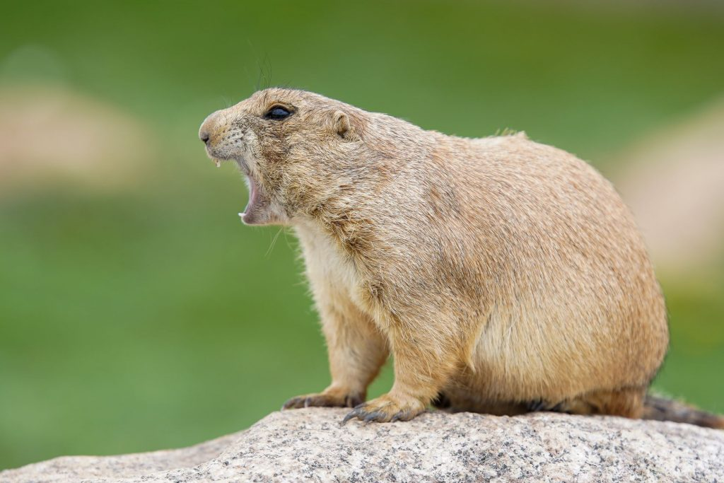 Prairie Dog Yelling